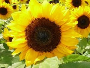 Sonnenblume Pflege - Sonnenblume Pflege richtig gemacht