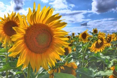 Sonnenblume Pflege - Sonnenblume Arten