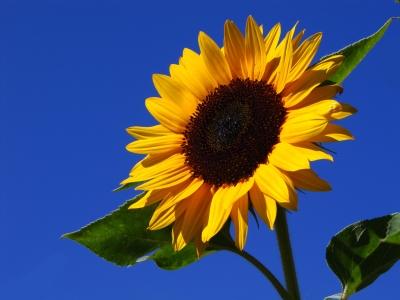 Sonnenblume Pflege - Helianthus annuus
